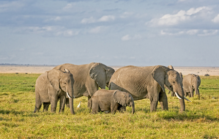 terrestrial mammal: Group of African bush elephants  (Loxodonta africana) , Amboseli National Park, Kenya