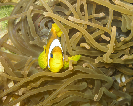 amphiprion: Red Sea (or two-banded) anemonefish (Amphiprion bicinctus) nestled in anemone