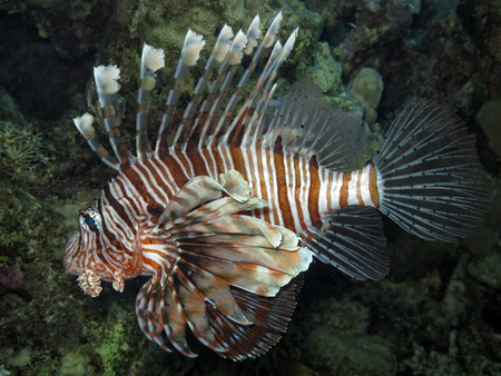 turkeyfish: Red lionfish (Pterois volitans), Soma Bay, Egypt