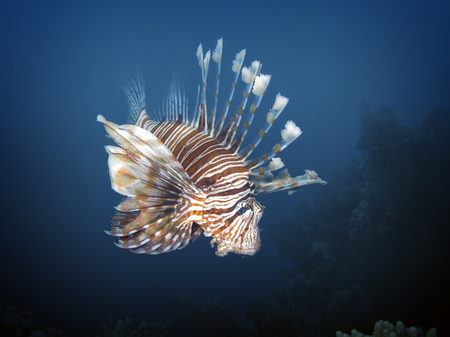 Red lionfish (Pterois volitans), Soma Bay, Egypt