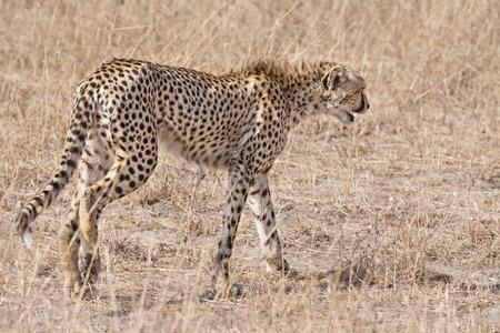masai mara: Adult cheetah, Masai Mara National Reserve, Kenya, East Africa