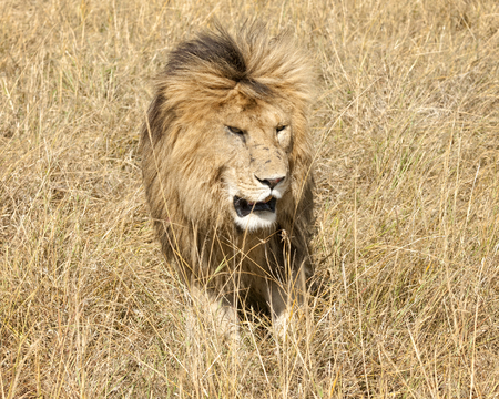 developed: Mature male lion with developed mane in Masai Mara National reserve, Kenya, Africa Stock Photo