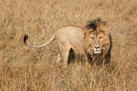 masai mara: Mature male lion in Masai Mara National reserve, Kenya, Africa Stock Photo