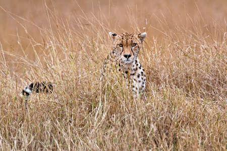 big5: Adult cheetah  sits in tall savanna  grass of  Masai Mara National Reserve, Kenya, East Africa