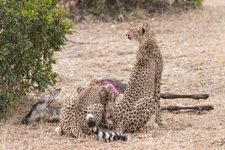 feasting: Pair of cheetahs feasting on antelope kill, Masai Mara National Reserve, Kenya, East Africa