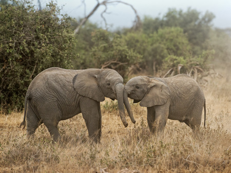 terrestrial mammal: Two calves of African Elephants greating one another Stock Photo