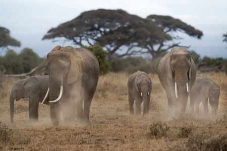 dusting: Group of African bush elephants  Loxodonta africana dusting to protect their skin from biting insects Kenya Stock Photo