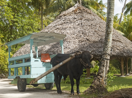 bullock animal: A traditional oxcart on La Digue islandSeychelles Stock Photo