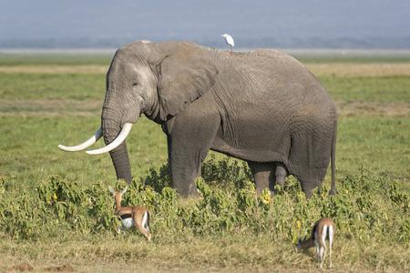 pene: African elephant Loxodonta africana male Amboseli National Park Kenya Archivio Fotografico