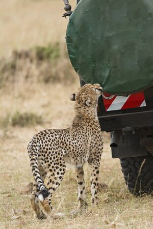 adult kenya: Adult cheetah gnaw cover of spare wheel at vehicle with tourists, Masai Mara National Reserve, Kenya, East Africa