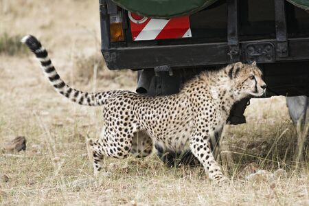 Adult cheetah sneaking under safari vehicle with tourists, Masai Mara National Reserve, Kenya, East Africa