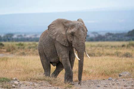 big5: African elephant, female, crossing country road in Amboseli, Kenya