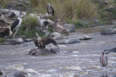 corpses: Vultures and marabou storks feast of corpses of wildebeests dead while crossing Mara River during annual migration from Serengeti National Park in Tanzania to Masai Mara National Reserve, Kenya