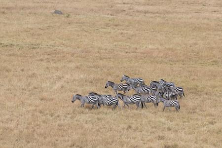 aerial animal: Small herd of plain zebras in savannah of Masai Mara National Reserve, Kenya