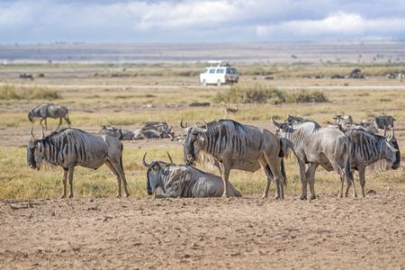 minibus: herd of white bearded wildebeest Connochaetes tuarinus mearnsi , closeup,  minibus on country road on background, Masai Mara National Reserve, Kenya
