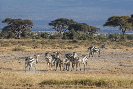mating colors: Small herd of plain zebras  Equus quagga boehmi  , stallion and several mares, Amboseli National Park, Kenya, Eastern Africa