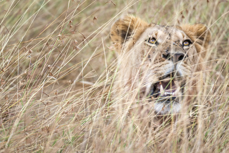 masai mara: Mature male lion Panthera leo nubica in Masai Mara National reserve, Kenya, Africa
