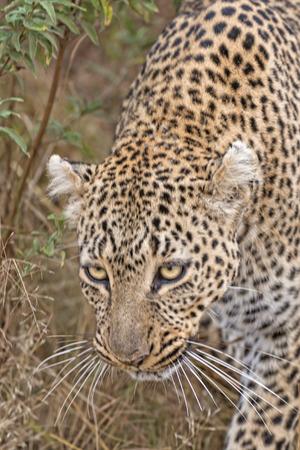 pardus: Leopard Panthera pardus , Masai Mara National Reserve, Kenya, Eastern Africa