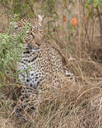 pardus: Leopard Panthera pardus, Masai Mara National Reserve, Kenya, Eastern Africa
