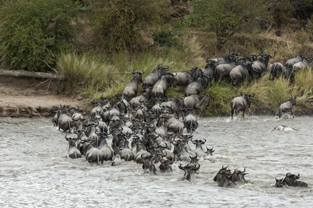 maasai: herd of white bearded wildebeest Connochaetes tuarinus mearnsi crossing Mara River during annual migration from  Serengeti National Park in Tanzania to greener pastures of  Maasai Mara National Reserve, Kenya