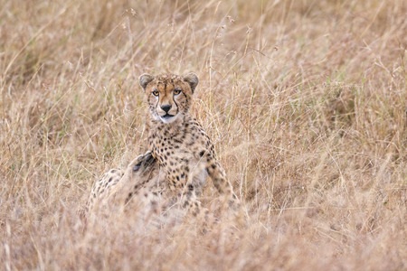 big5: Adult cheetah  rests after hunting  in tall savanna  grass of  Masai Mara National Reserve, Kenya, East Africa Stock Photo