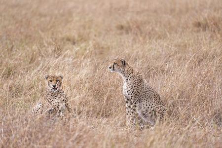 big5: Two adult cheetahs  sitting in tall savanna grass of  Masai Mara National Reserve, Kenya, East Africa