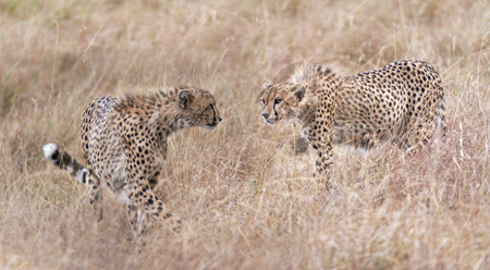 big5: Two cheetahs looking one to another, Masai Mara National Reserve, Kenya, East Africa
