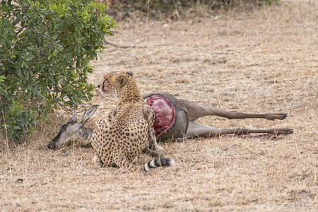 kill: Adult cheetah feasting on impala kill, Masai Mara National Reserve, Kenya, East Africa