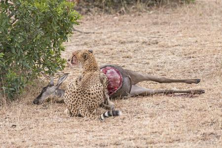 feasting: Adult cheetah feasting on impala kill, Masai Mara National Reserve, Kenya, East Africa