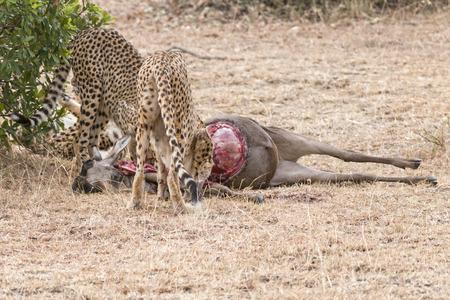 feasting: Young male African  cheetahs feasting on antelope kill, Masai Mara National Reserve, Kenya, East Africa