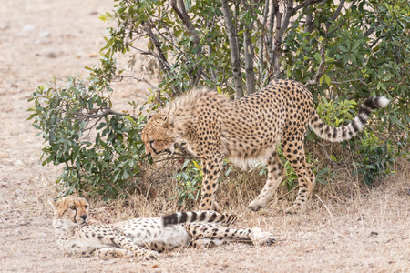 cheetahs: Cheetahs,   Masai Mara National Reserve, Kenya, East Africa