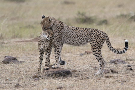 masai mara: Pair of cheetahs, Masai Mara National Reserve, Kenya, East Africa Stock Photo