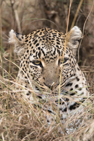 masai mara: Leopard , Masai Mara National Reserve, Kenya, Eastern Africa Stock Photo