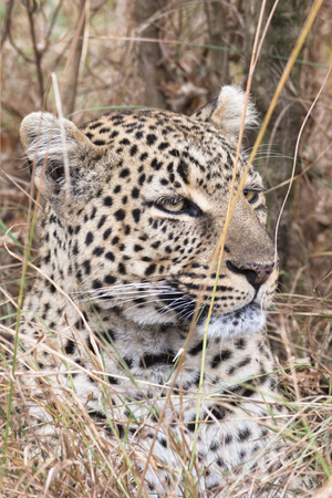 Leopard hiding in long grass, Masai Mara National Reserve, Kenya, Eastern Africa Stock Photo