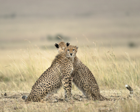 Two adult cheetahs looking in opposite directions to get full view of the surrounding savannah, Masai Mara National Reserve, Kenya, East Africa