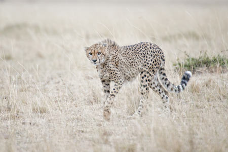 big5: close encounter with a cheetah in Masai Mara National Reserve, Kenya, East Africa Stock Photo
