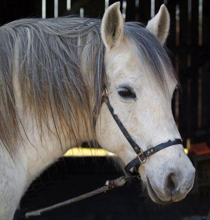 White horse portrait     Banco de Imagens