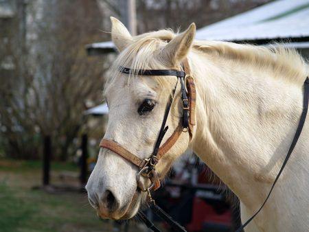 bridle: White horse with bridle and reins