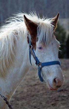 Close-up of white horse with blue eyes     photo