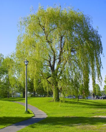 salix: A large weeping willow tree (Salicaceae Salix) stands near a winding path on the green grasses of a public park.