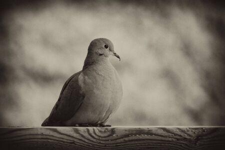 A  mourning dove (Zenaida macroura), also known as a Western Turtle Dove, or Rain Dove, in black and white. Standard-Bild