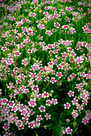 A large group of many small white and purple flowers (phlox) spread out through tall grass.