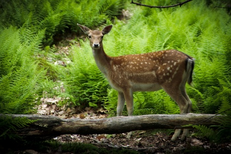 A young fallow deer (Dama dama) fawn in its natural habitat