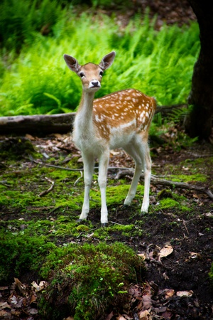 curiously: A young, fallow deer fawn (Dama dama) in its natural habitat looks curiously at the camera.