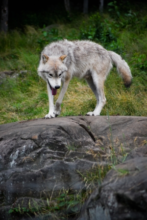 An Eastern Gray Timber Wolf (Canis lupus) Stands atop a large stone outcropping.