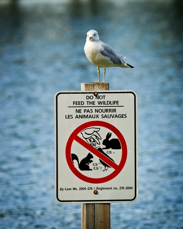 Juxtaposition of a western seagull ( Larus occidentalis ) l perched atop a sign warning  photo