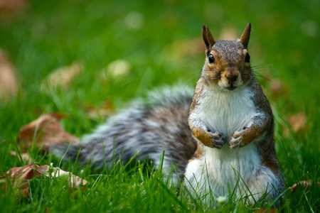 A close-up image of a curious and cute common North-American brown squirrel