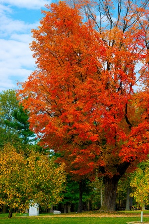 blazes: A large, bright, beautiful maple tree blazes with its bright, autumn foliage in Vincent Massey Park - Ottawa, Canada.