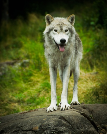 on gray: Close image of a wild, Eastern Gray Timber Wolf (Canis lupus) Standing atop a large stone ledge. Stock Photo