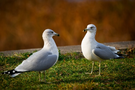 A pair of common gulls ( Larus canus ) stand facing each other.